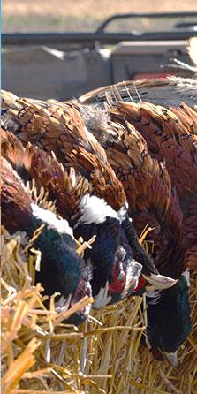 Dakota Pheasant Guide Pheasants